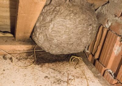 Hornissen-Nest (1)